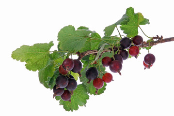 hybrid fruits of blackcurrant and gooseberry