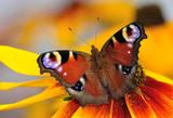 Fototapeta zbliżenie - zwierzę - Insekt