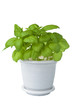 fresh basil in pot isolated