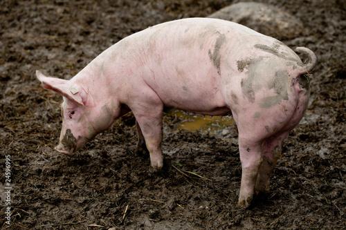 ein rosa schwein steht im schlamm und frisst stockfotos und lizenzfreie bilder auf. Black Bedroom Furniture Sets. Home Design Ideas