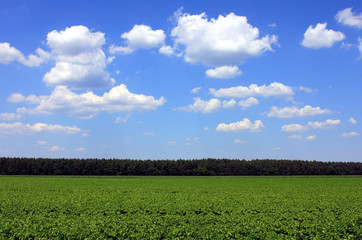 green potato field in summer blue sky white clouds