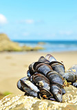 eatable mussels on a rock on coast poster