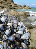eatable mussels on a rock and sea coast