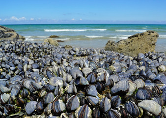 eatable mussels on a coast