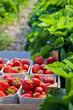 Closeup of fresh organic strawberries growing on the vine