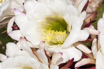Cereus cactus blossoms