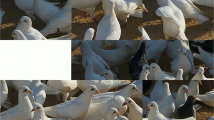 Puzle de palomas