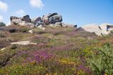 Colorful heath near the Cote Granite Rose of Bretagne, France
