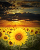 Fototapeta sunflowers  field and sunset