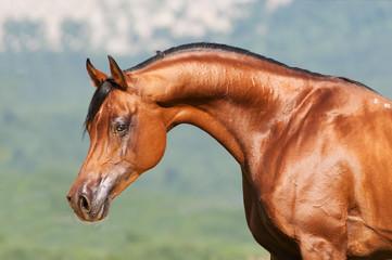 bay arabian stallion portrait