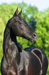 black akhal-teke horse portrait