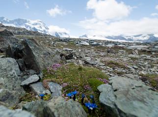 Fleurs de montagne devant les glaciers