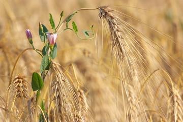 Gerste, Barley