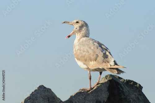 Yawning seagull on a rock