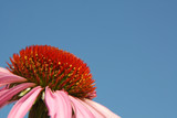 Echinacea for alternative medicine poster