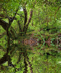 rain forest with mirroring in river water