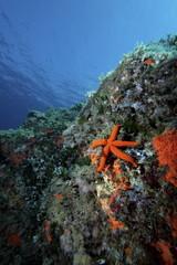 stella marina rossa