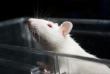 white (albino) laboratory rat in acrylic cage peeking and climbi poster