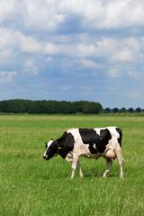 Cows in Dutch flat landscape