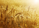 Fototapety Golden Wheat field