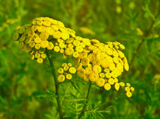 Inflorescence tansy (Fanacetum)
