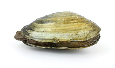 Red tide soft-shell clam