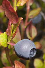 Blueberry on stem
