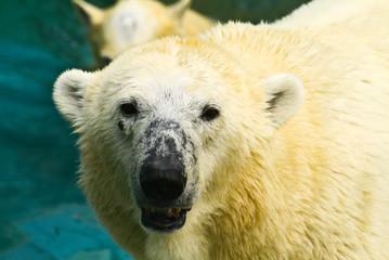Mother White Bear