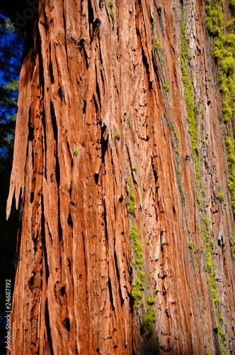 Poster Landschappen Giant Sequoia