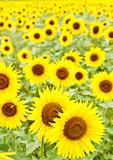 Fototapeta kwiaty - pole - Kwiat