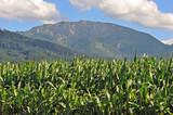 Maisanbau in Oberbayern