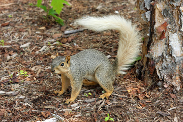 Squirrel with rare colored tail