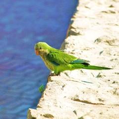 Papagei - quaker parrot