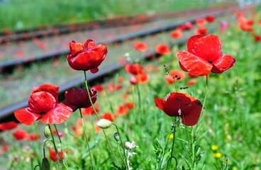 Wild red poppies near railway