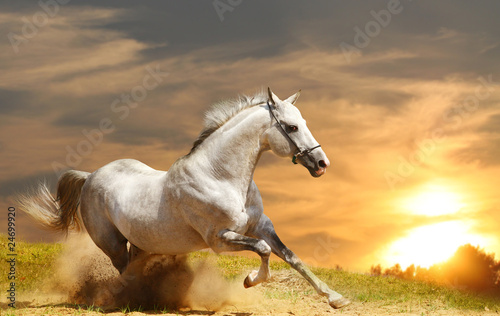 Fototapeta white stallion