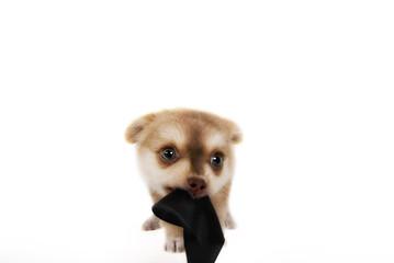 Chihuahua Welpe little dog