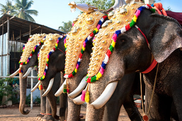 Decorated elephants for parade at the annual festival,India
