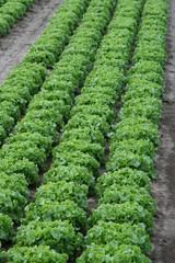 Salatfeld auf den Fildern