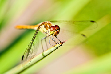 Extreme closeup of dragonfly at rest