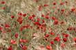 Mohnblumenfeld in der Provence