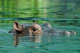 Fototapeta oko - duży - Wodny Ssak
