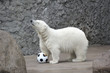 Little white polar bear with ball