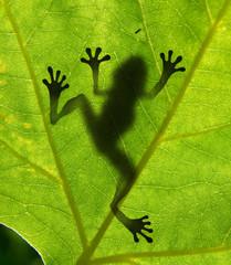 Frog shadow on the leaf
