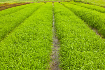 Rows of Rice Field