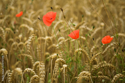Wheat spikes and beautiful blossoming poppies - 24747348
