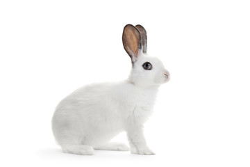 A white rabbit isolated on white background