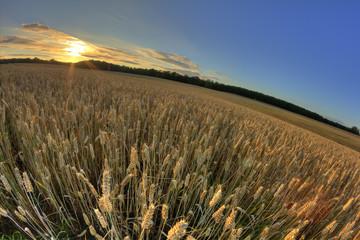 Mature Rye Field
