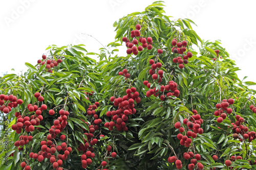 litchis, letchis, litchi sinensis, arbre fruitier tropical
