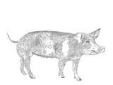 engraved drawing of domesticated pig