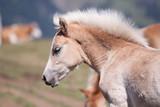 Junges Fohlen auf der Weiden in den Bergen Nahaufnahme